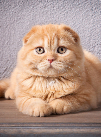 "Illustration de la race ""Scottish Fold"""