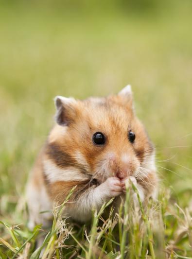 Photo : rongeur de race Hamster sur Woopets