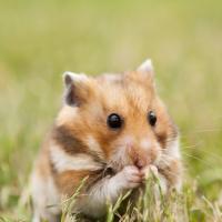 """Illustration de la race """"Hamster"""""""