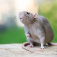 """Illustration de la race """"Rat"""""""