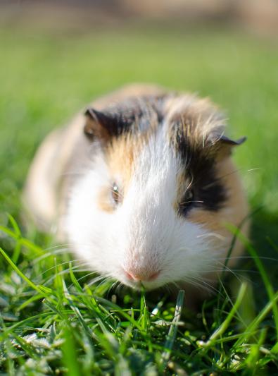 Photo : rongeur de race Cochon d'Inde sur Woopets