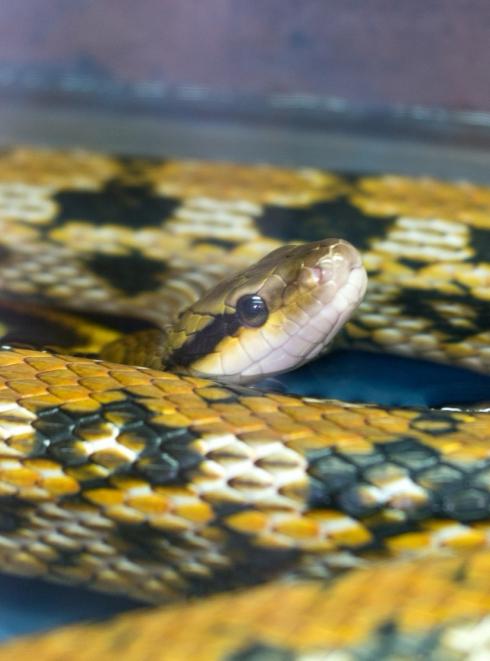 """Illustration de la race """"Serpent"""""""