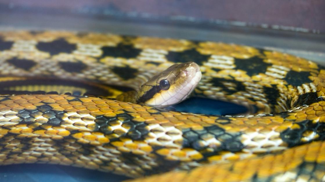Serpent Caractere Sante Alimentation Prix Et Entretien