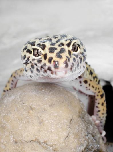 Photo : reptile de race Lézard sur Woopets