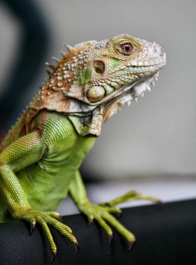 Iguane : caractère, santé, alimentation, prix et entretien