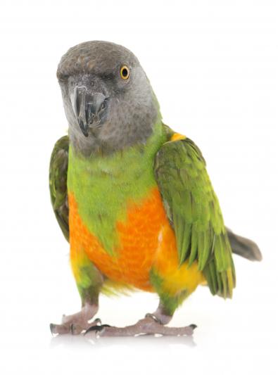 Photo : oiseau de race Youyou du Sénégal sur Woopets