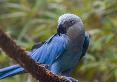 Photo : oiseau de race Ara de Spix sur Woopets