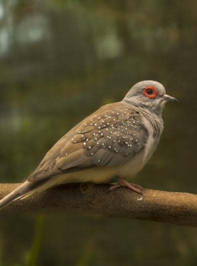 Photo : oiseau de race Colombe diamant sur Woopets