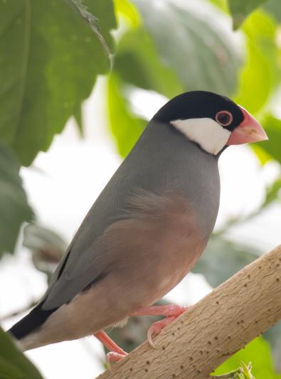 Photo : oiseau de race Padda de Java sur Woopets