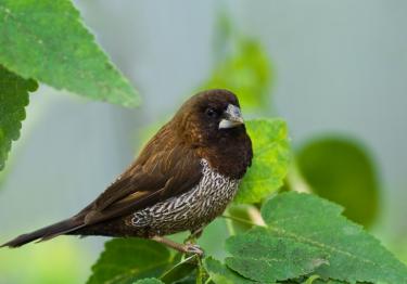 Photo : oiseau de race Moineau du Japon sur Woopets