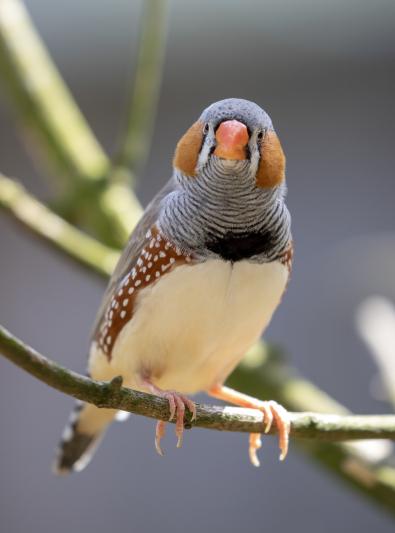 Photo : oiseau de race Diamant mandarin sur Woopets