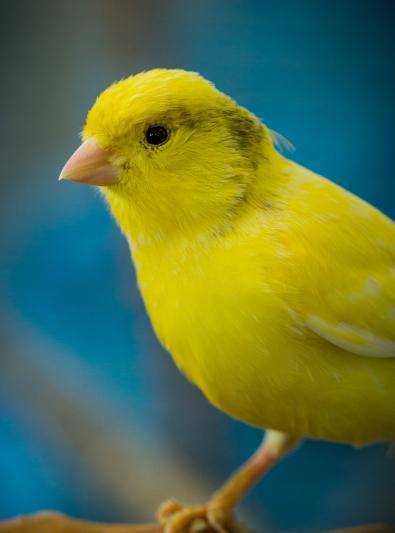 Photo : oiseau de race Canari sur Woopets