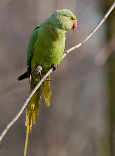 Photo : oiseau de race Perruche à collier sur Woopets