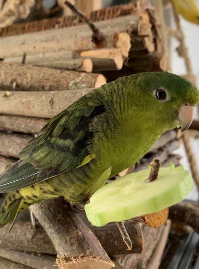 Photo : oiseau de race Perruche Catherine sur Woopets
