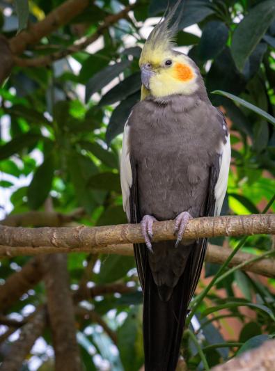 Photo : oiseau de race Perruche calopsitte élégante sur Woopets