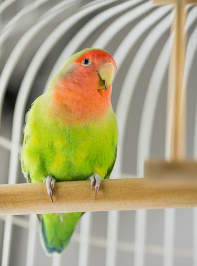 Photo : oiseau de race Inséparable à face rose sur Woopets