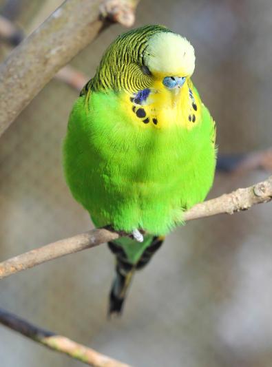 Photo : oiseau de race Perruche ondulée sur Woopets
