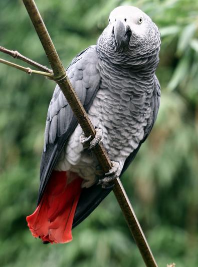 Photo : oiseau de race Gris du Gabon sur Woopets