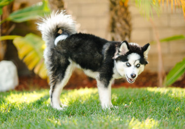 Photo : chien de race Pomsky sur Woopets