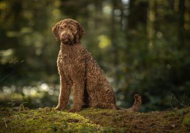 Photo : chien de race Labradoodle sur Woopets