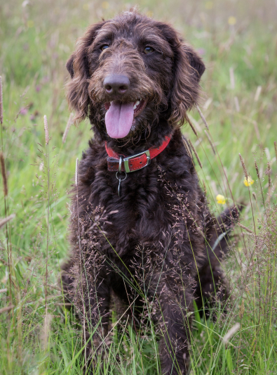 Photo : chien de race Labradoodle sur Woopets