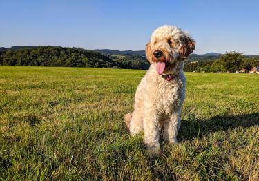 Photo : chien de race Goldendoodle sur Woopets