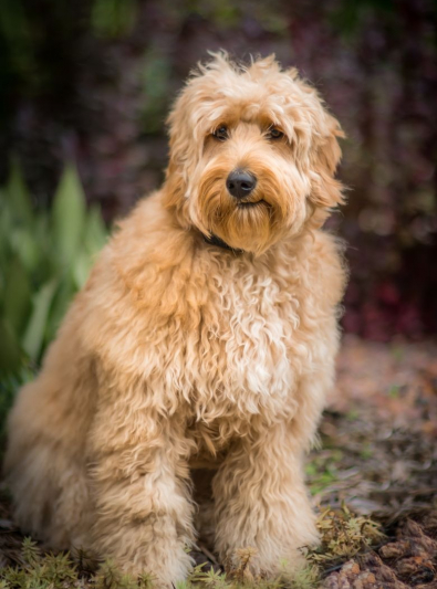 Photo : chien de race Goldendoodle sur Woopets