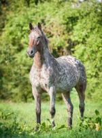 Photo : cheval de race Appaloosa sur Woopets