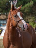 Photo : cheval de race Anglo-Arabe sur Woopets