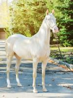 Photo : cheval de race Akhal-Teke sur Woopets