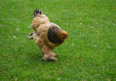 Photo : poule de race Poule Cochin sur Woopets