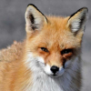 Avatar de renard-le-rouge