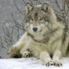 Avatar de loup