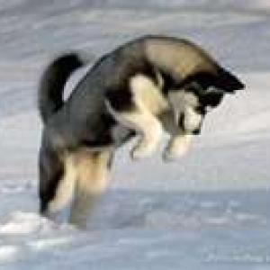 Avatar de husky